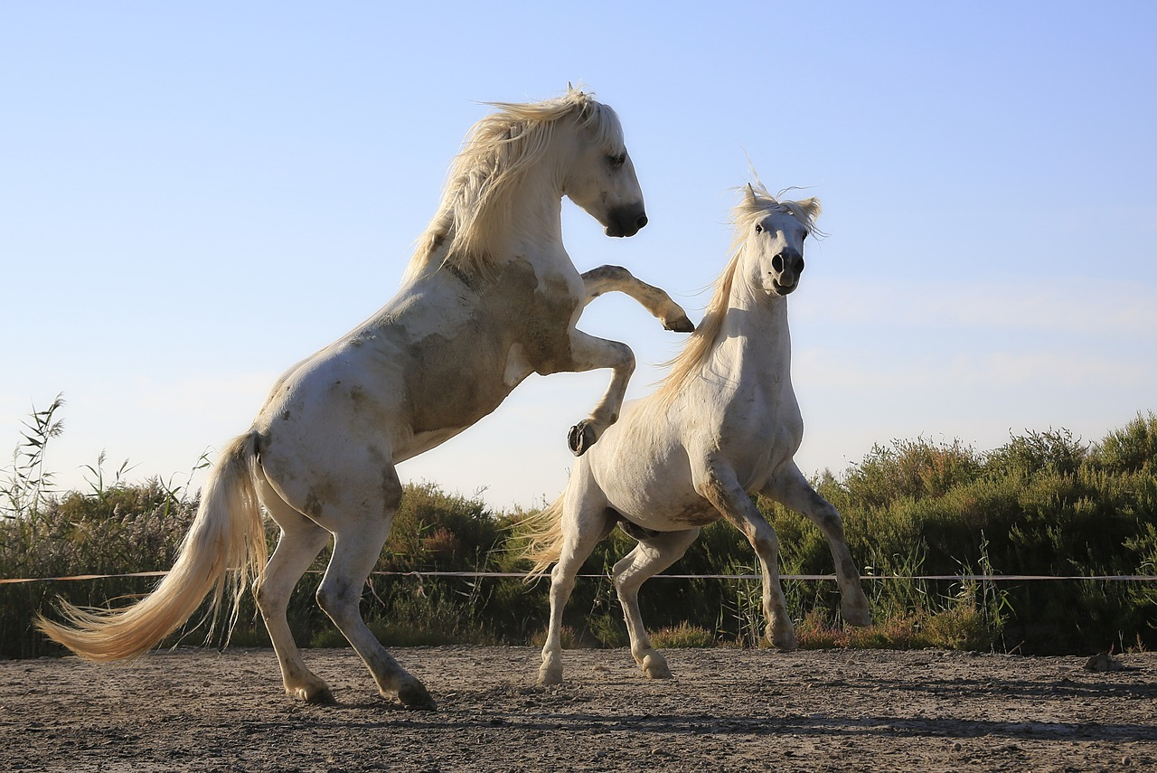 White horse rearing in a dirt field.