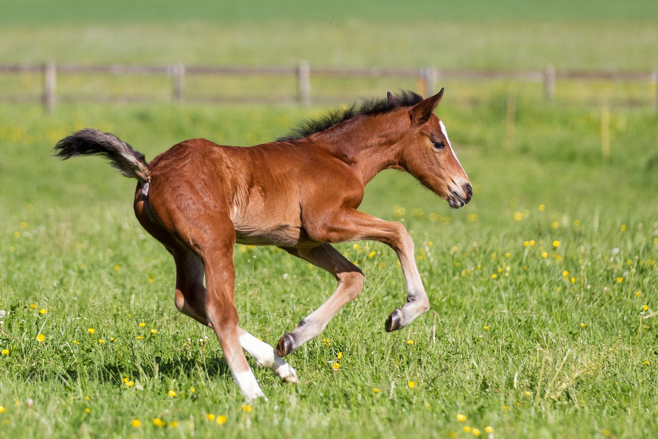Young foal running through the fields