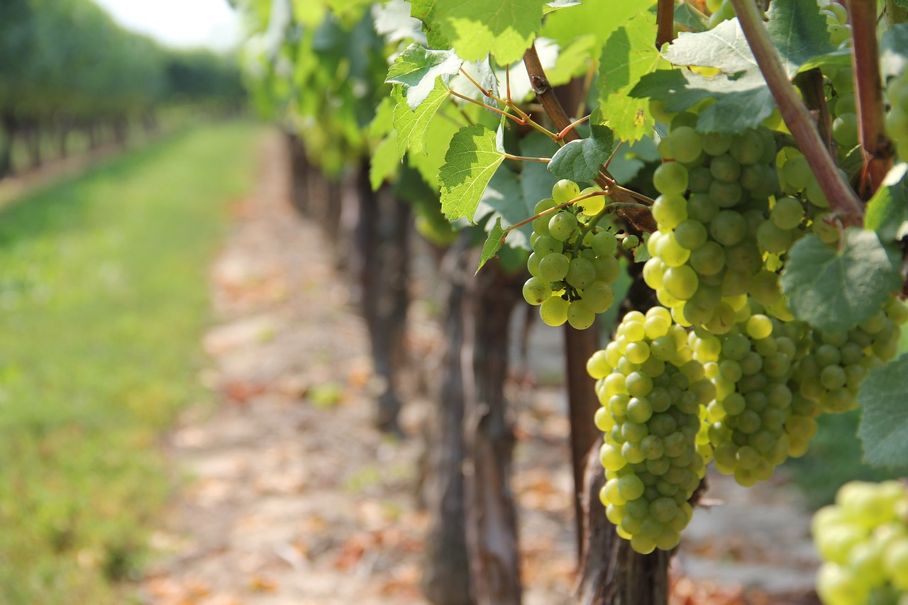 Green grapes at a vineyard.