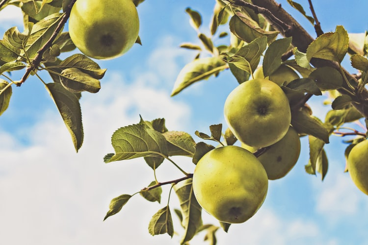 Apples set against the sky.